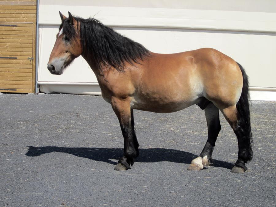 cavalerie_ecole_attelage_chevaux