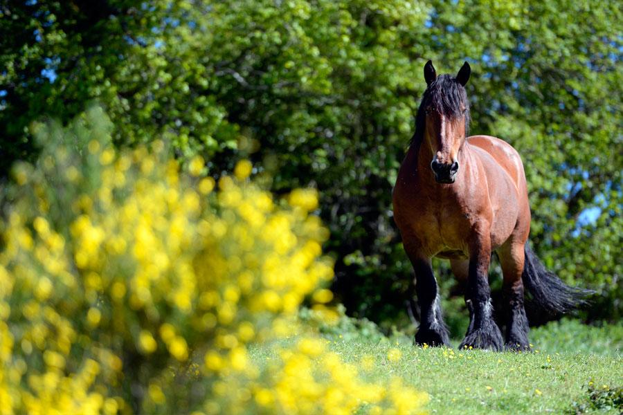 elevage_chevaux_aubrac_saillie